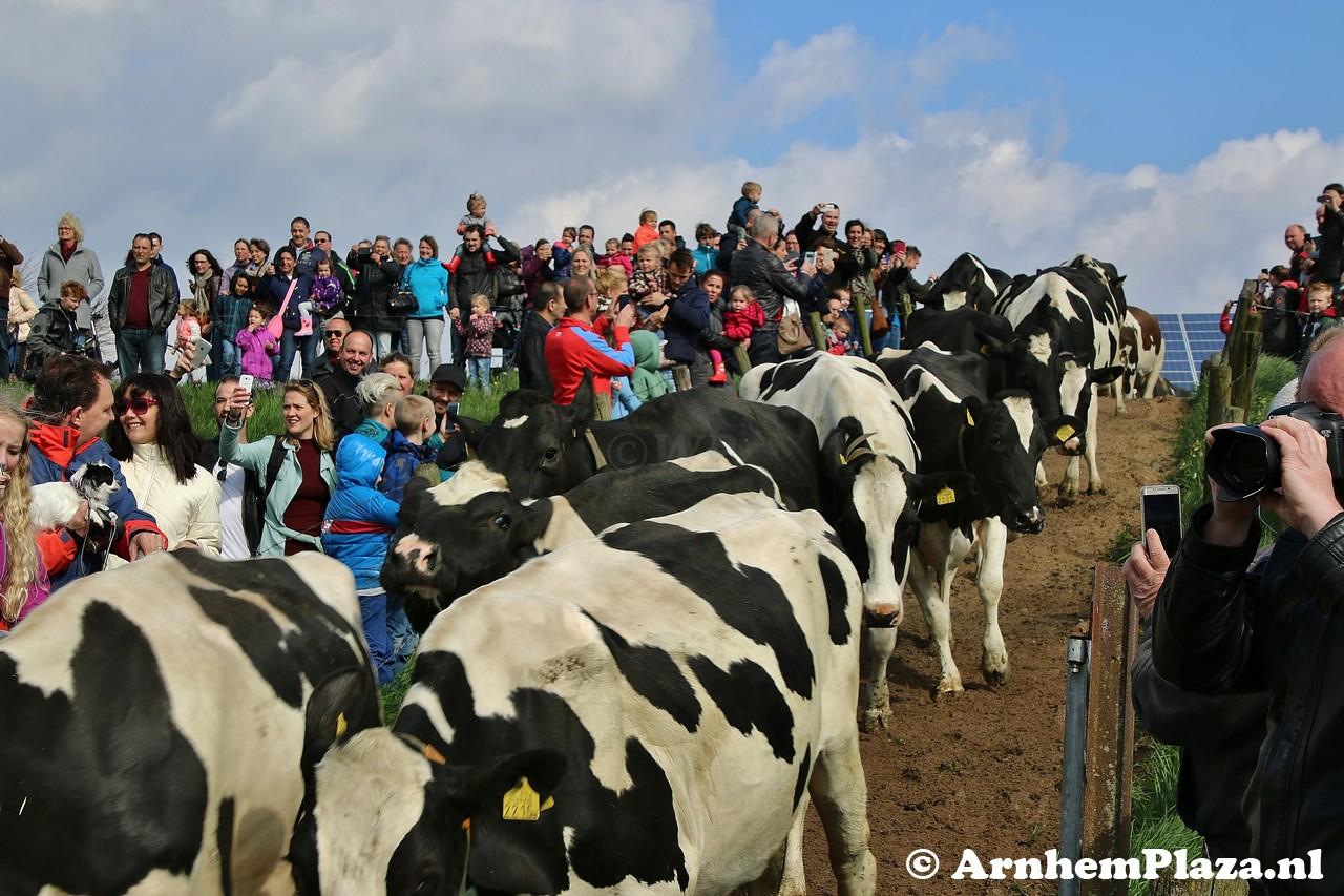 Koeiendans bij zuivelboerderij IJsseloord