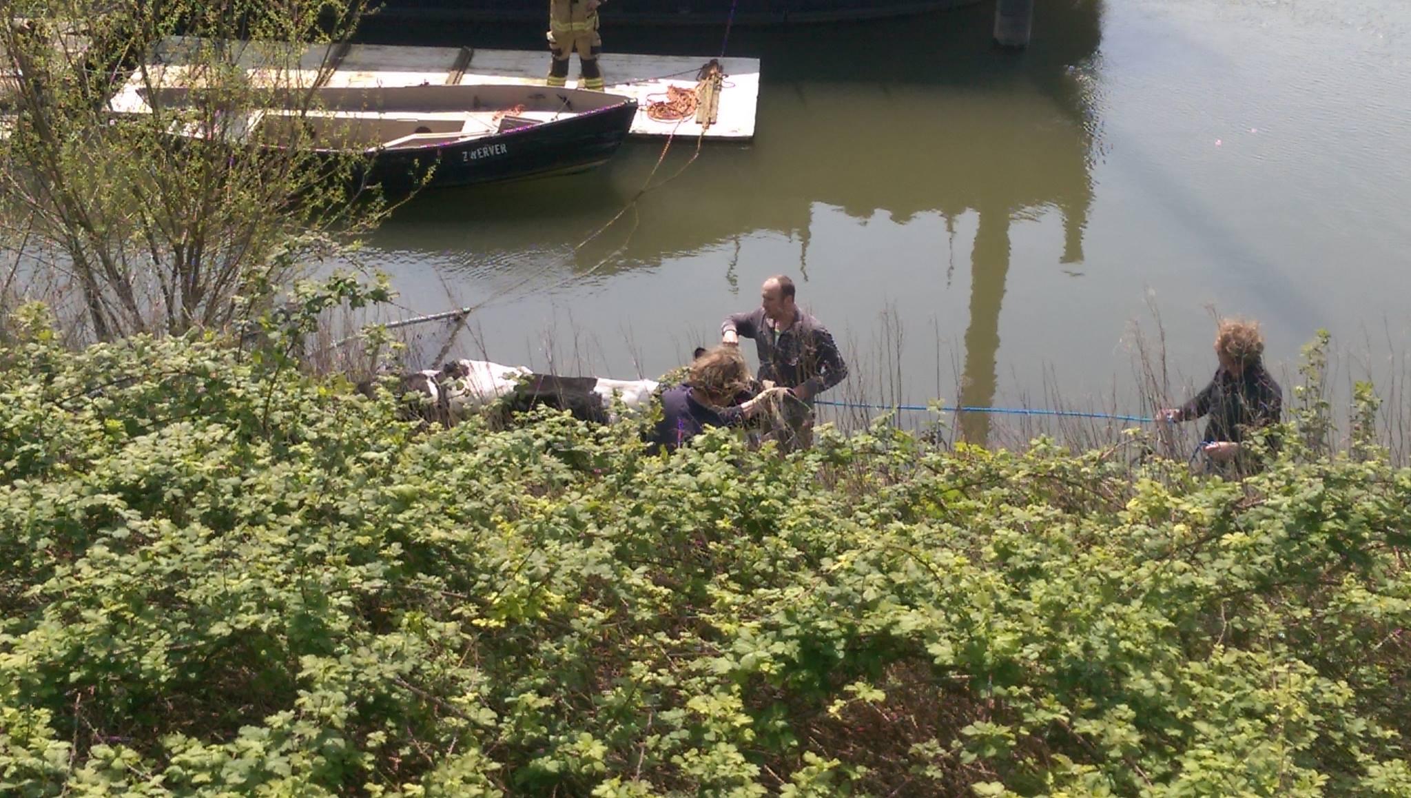 Koeien steken Rijn over en komen vast te zitten