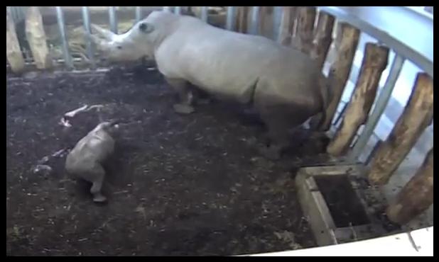 Neushoornbaby geboren in Burgers' Zoo