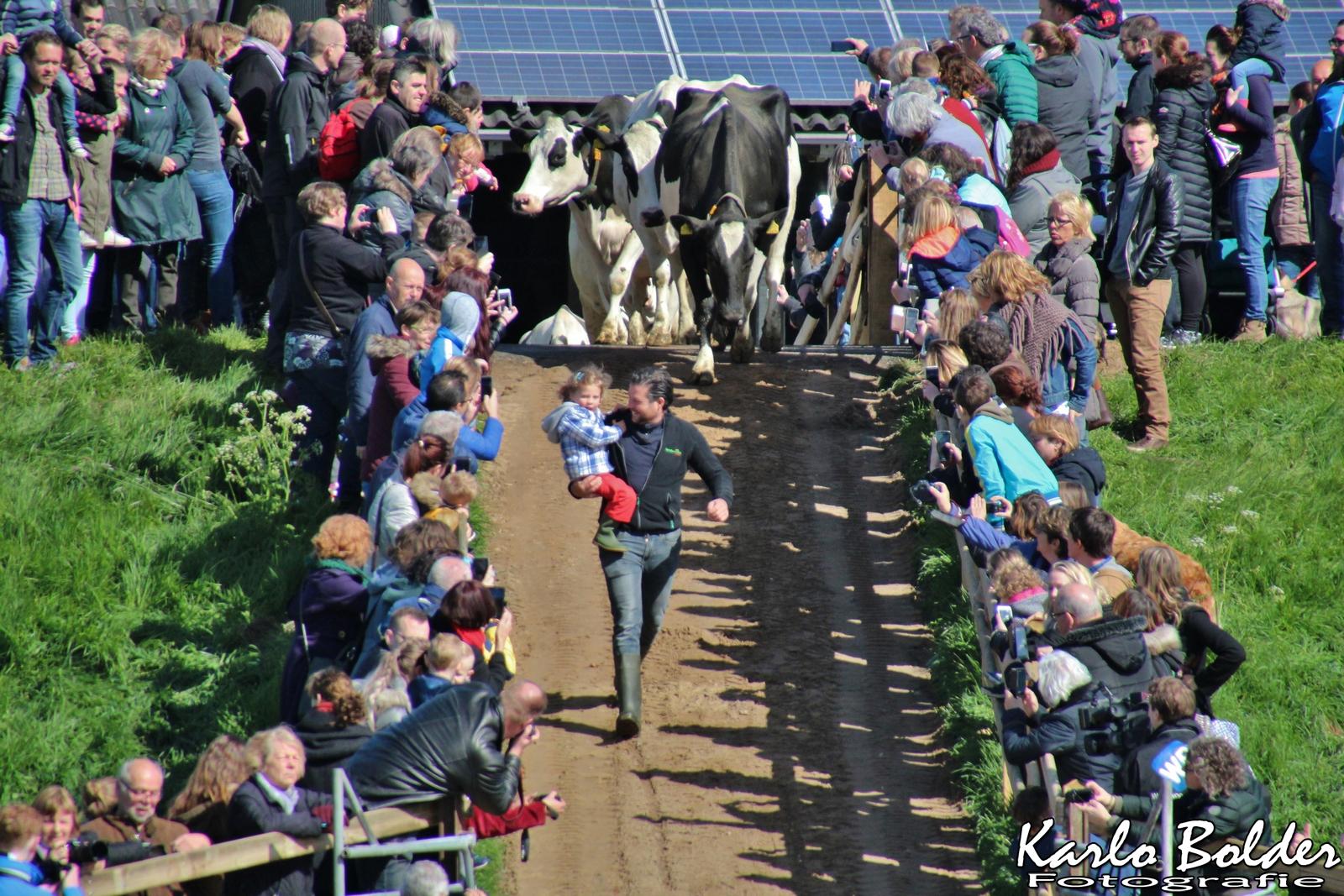 Koeiendans bij landwinkel IJsseloord