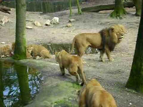 Leeuw bijt leeuwin dood in Burgers' Zoo Arnhem