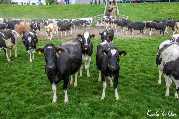 Koeien weer de wei in bij Landwinkel IJsseloord