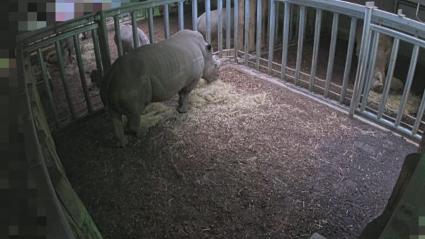 Baby breedlipneushoorn op komst in Burgers Zoo